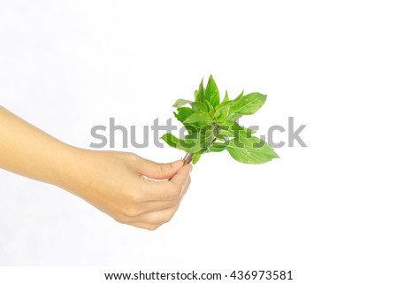 hands hold Sweet basil leaves on white background ,selective focus