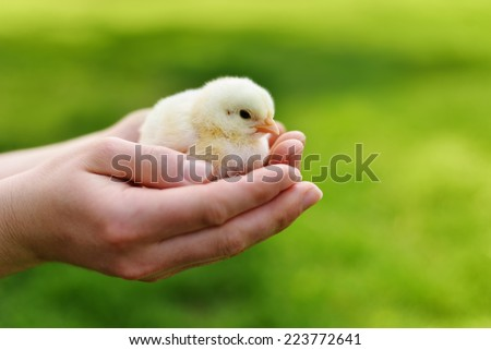 Hands Holding a Baby Chick - stock photo