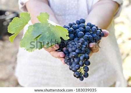 Hands holding a healthy bunch of grapes - stock photo
