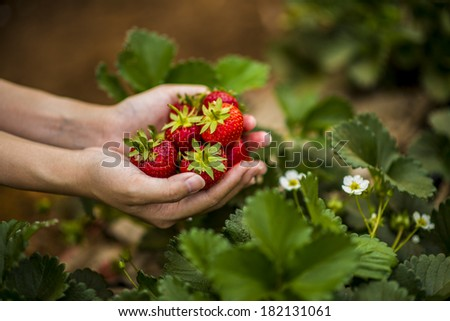 Hands holding a lot of fresh strawberries - stock photo