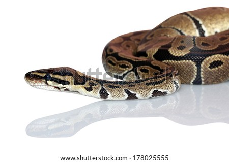 hands holding a snake isolated on background - stock photo