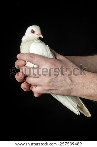 hands holding a white pigeon - stock photo