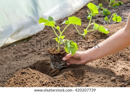 Hands holding beautiful melon plant with ground and roots. It is ready for planting. - stock photo