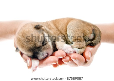 Hands holding brown puppy, 10 days age, isolated on white background. - stock photo