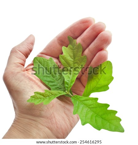 Hands holding Sprout a young oak tree isolated on white background - stock photo