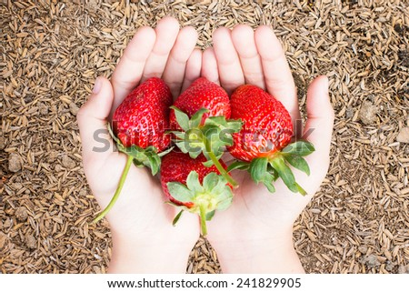hands holding strawberries over paddy background - stock photo