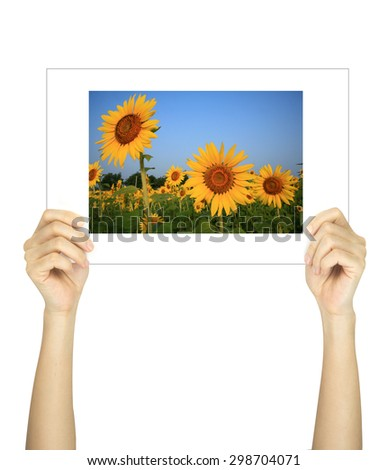 Hands holding sunflower picture isolated on white  - stock photo