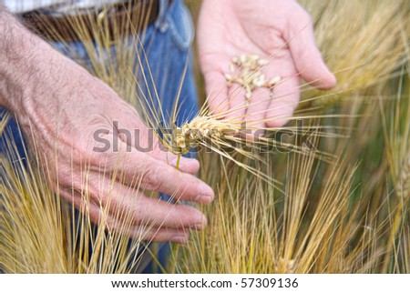 Hands holding wheat in the field - stock photo