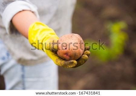 Hands in gloves holding big dirty harvested potatoes - stock photo