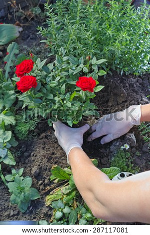 Hands in gloves transplanted a red rose on the flowerbed - stock photo