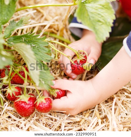 Hands of little child picking strawberries on organic pick a berry farm in summer, on warm day. Square format. - stock photo