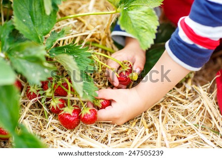 Hands of little child picking strawberries on organic pick a berry farm in summer, on warm day. - stock photo