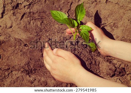 Hands of the child to plant seedlings pepper to the earth - stock photo