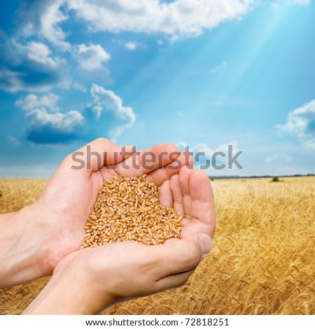 Hands of the grain-grower against a wheaten field