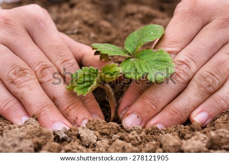 hands of women planting strawberry seedling in the garden - stock photo