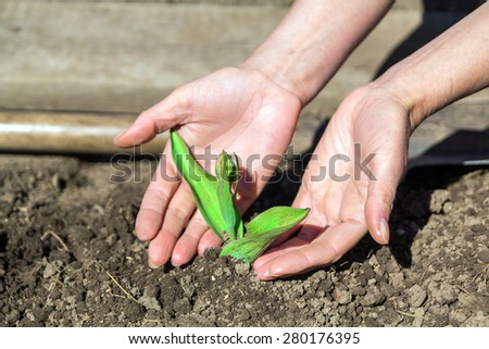 Hands planted seedlings of a tulip in the soil - stock photo