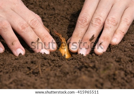 hands planting onion in the vegetable garden - stock photo