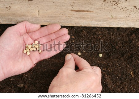Hands planting pea seeds into soil - stock photo