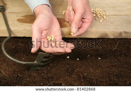 Hands planting pea seeds into soil from a wooden board