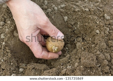 hands planting potato/gardening/potatoes