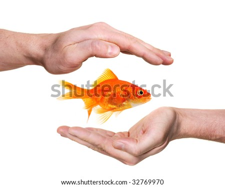 hands protecting or catching goldfish  isolated on white - stock photo