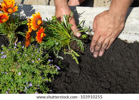 hands putting gazania flower in black soil in flowerbed - stock photo