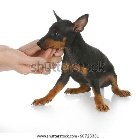 hands reaching out to console small puppy with reflection on white background