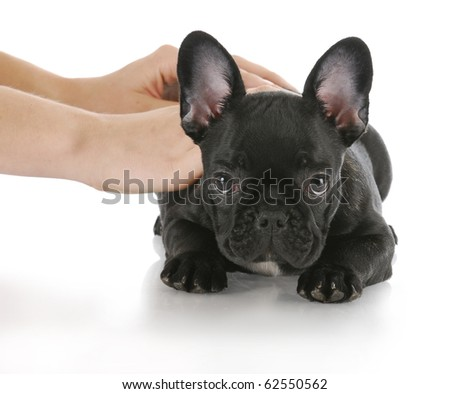 hands teaching french bulldog the command down with reflection on white background - stock photo