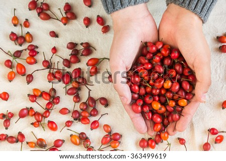 Hands the holding red berries of a dog rose. Red berries - stock photo
