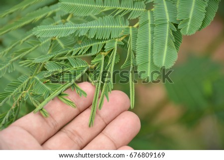 Hands touch sensitive plant  leaves