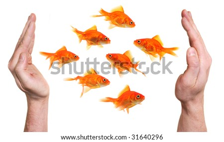 hands trying to catch or protect a group of goldfish isolated on white background - stock photo