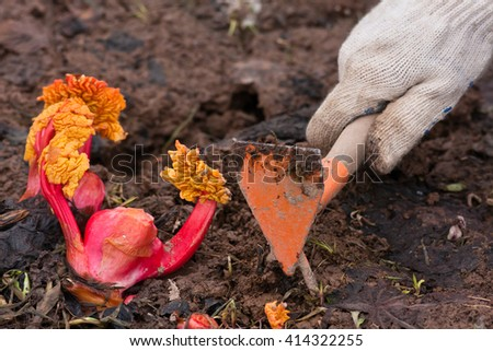 hands weeding garden bed with rhubarb, closeup - stock photo