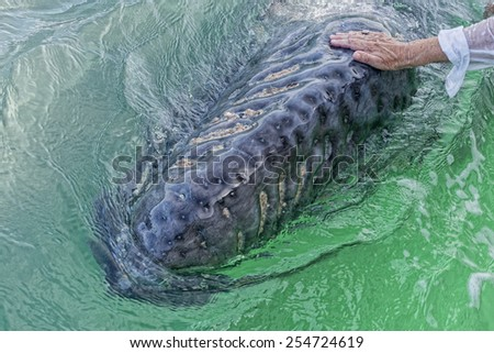 hands while caressing and touching a grey whale - stock photo