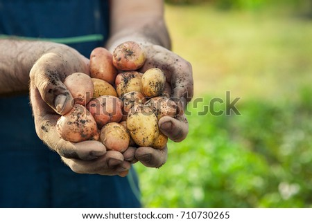 Hands with fresh potato picked from garden