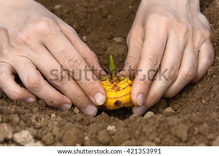 hands with gladiolus bulb ready to planting - stock photo