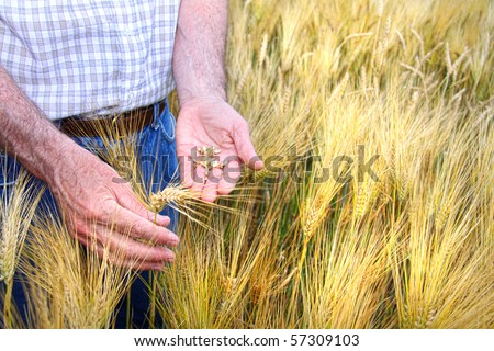 Hands with holding wheat grains in field - stock photo