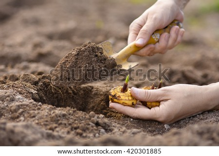 hands with shovel planting gladiolus bulb - stock photo