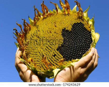 hands with sunflower against blue sky - stock photo