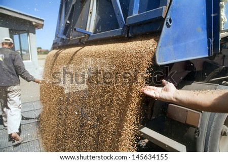 Hands with wheat grains - stock photo