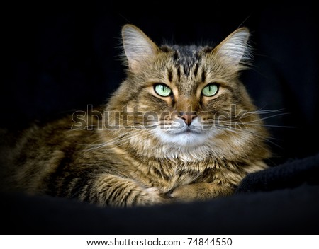 Handsome adult maine coon cat on black background. - stock photo