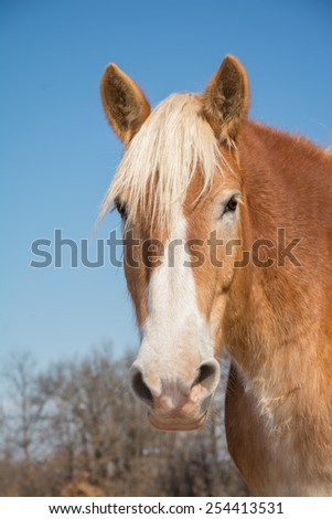 Handsome Belgian Draft horse head on, looking at the viewer with a gentle expression