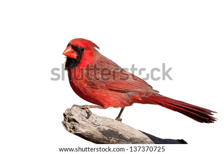 Handsome bright red Northern Cardinal male perched on a limb, isolated on white - stock photo