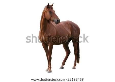 Handsome brown horse isolated on white background - stock photo