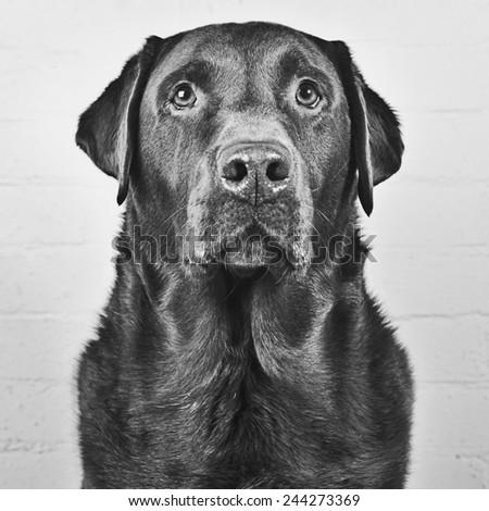 Handsome Chocolate Labrador - stock photo