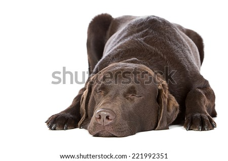 Handsome Chocolate Labrador - Let Sleeping Dogs Lie - stock photo