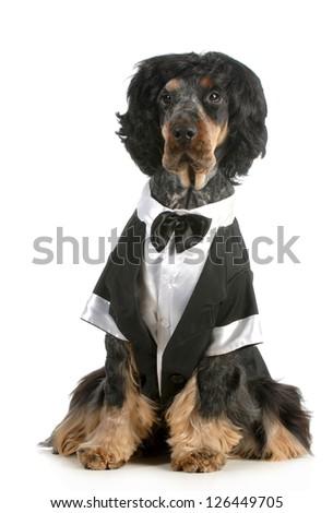 handsome dog - english cocker spaniel dressed up in tuxedo sitting isolated on white background - stock photo