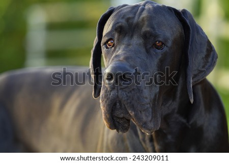 Handsome great dane blue, with selective focus on her eyes - stock photo