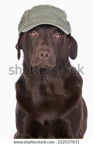 Handsome Labrador in Green Army Style Baseball Cap - stock photo