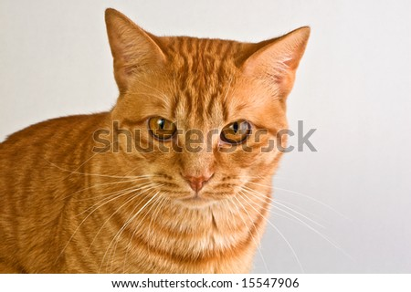 Handsome orange tabby cat shot against a neutral background.