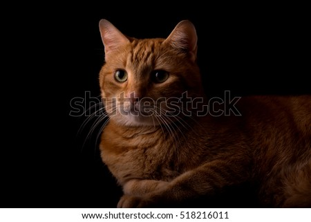 Handsome orange tabby side lit, on dark background